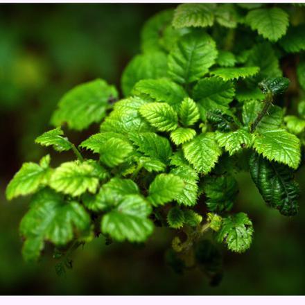plante contre la diarrhée