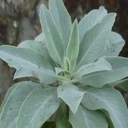 plante sauge