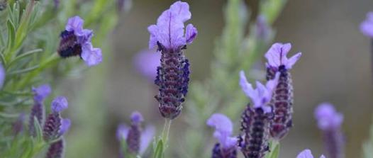 plante sinusite
