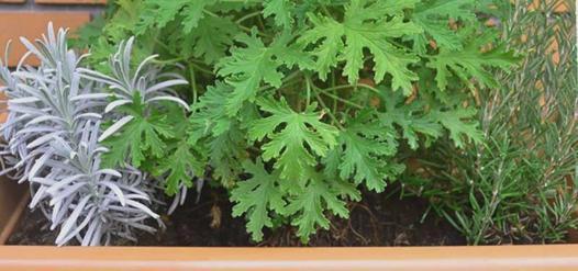 plantes aromatiques hiver