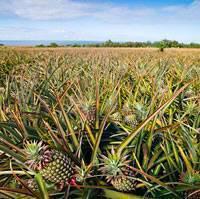 propriété de l ananas